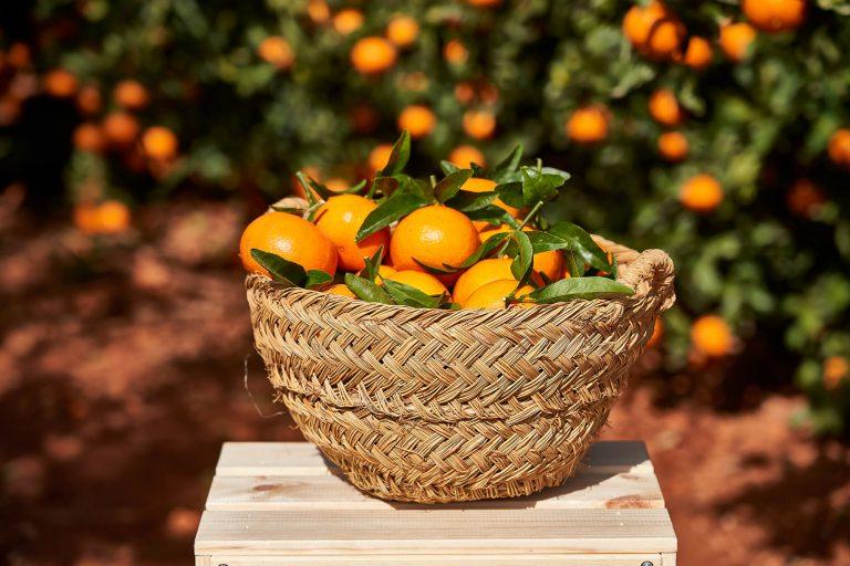Recta final para regularizar plantaciones de la mandarina Spring Sunshine a 12 euros por árbol