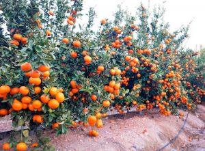 comienza la regularizacion voluntaria y venta de nuevas licencias de mandarina spring sunshine 1