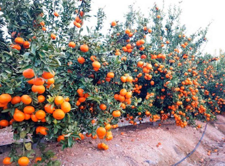 España: Comienza la regularización voluntaria y venta de nuevas licencias de mandarina Spring Sunshine
