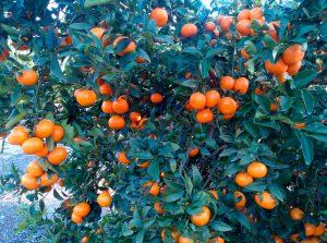 primeras acciones legales contra productores sin licencia de la variedad spring sunshine valencia Fruits 2